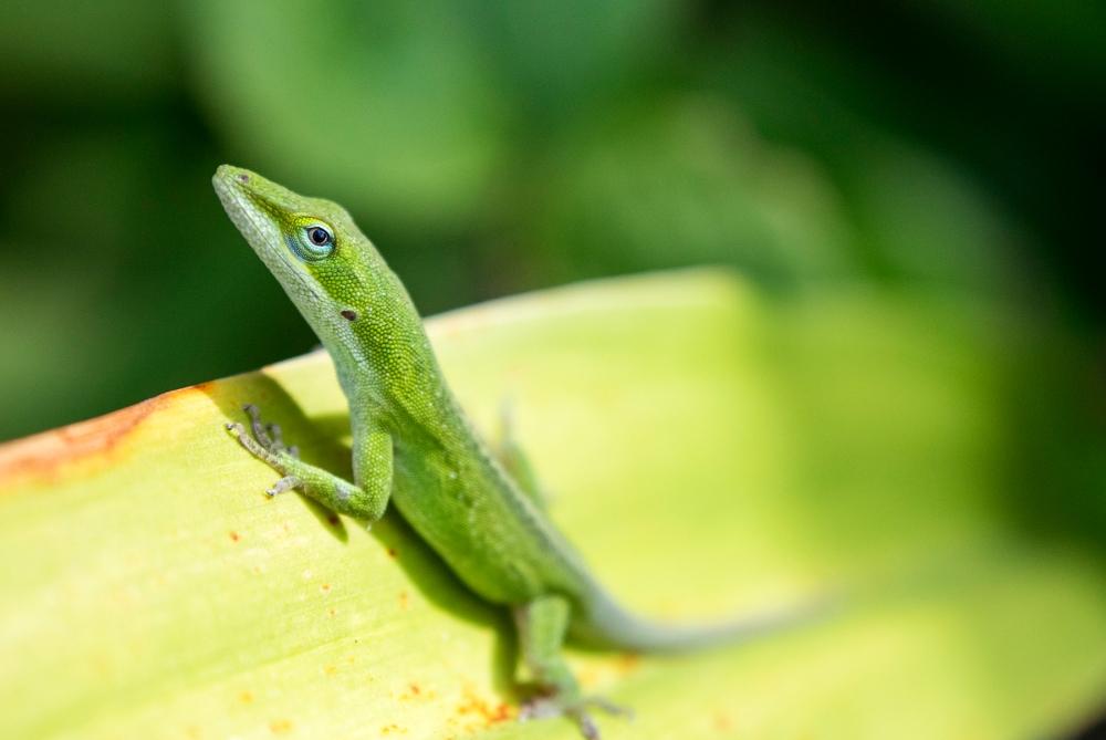 juvenile green anole