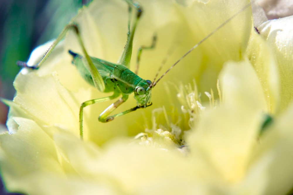 Texas brush katydid drinking nectar from a cactus flower