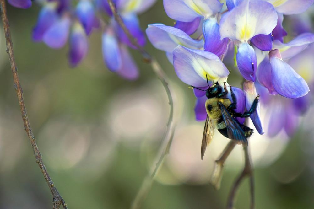 eastern carpenter bee on wisteria flowers