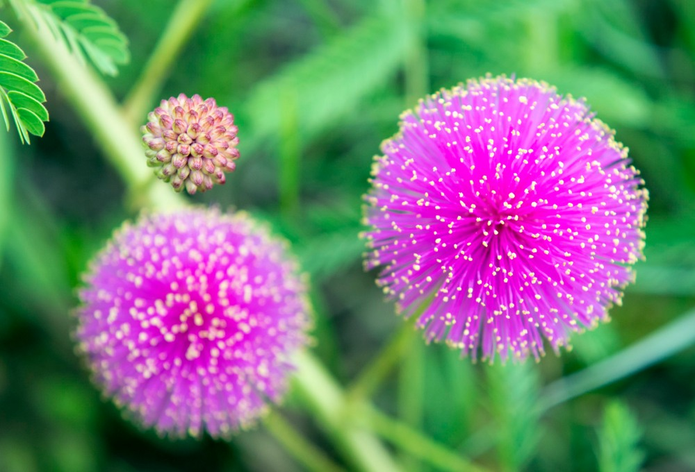 Mimosa-nuttallii-web