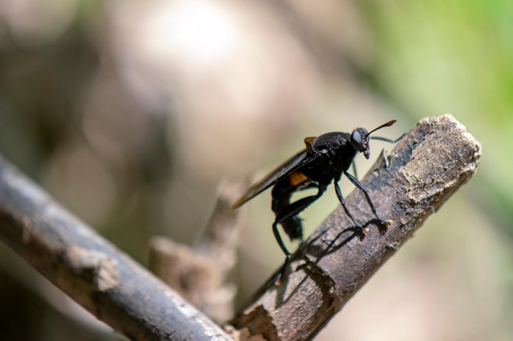 orange-banded-mydas-fly-web